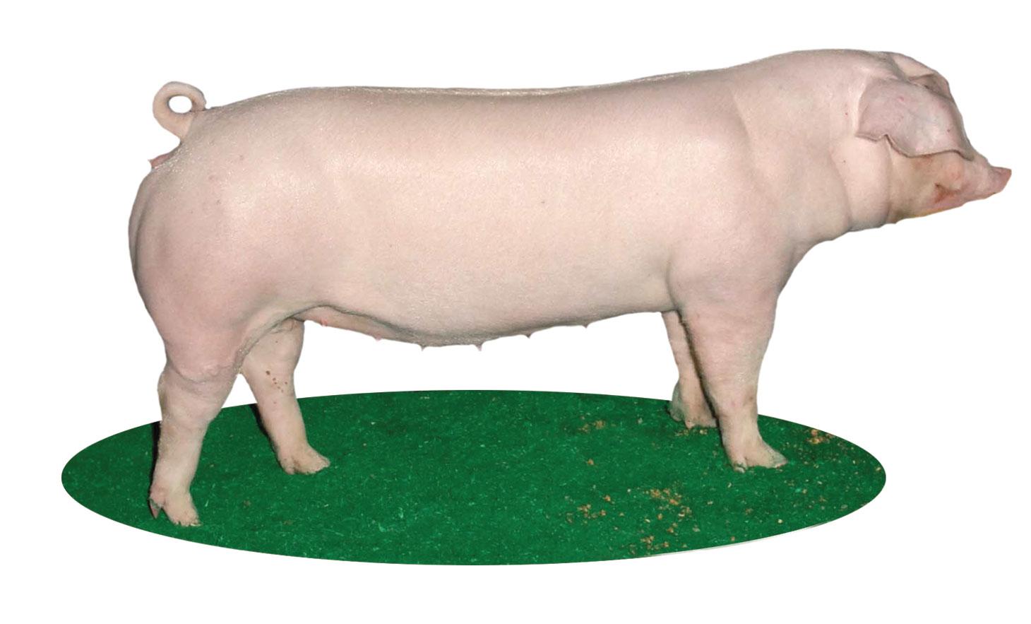 Major Swine Breeds Pork Checkoff