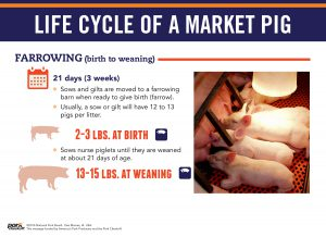 life cycle of a market pig - farrowing