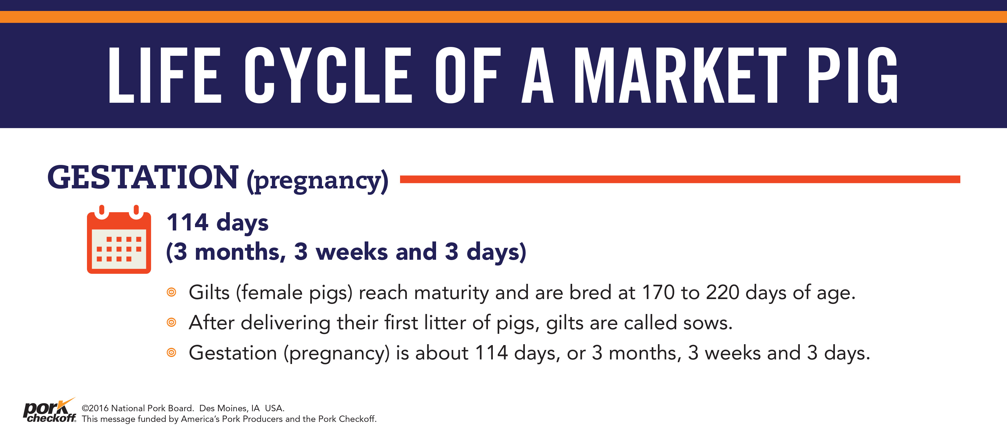 life cycle of a market pig gestation